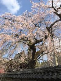 枝垂桜 - ササイな日々
