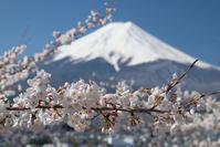 富士山と桜!新倉山浅間公園 - Motorradな日々 2