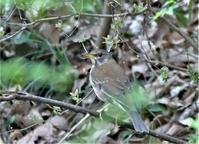 まだまだ冬鳥がいます。シロハラ、ヤマガラ、カシラダカ - バードカラー