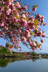蓮華寺池公園の里桜 ① - やきつべふぉと