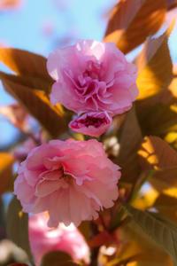 蓮華寺池公園の里桜 ② - やきつべふぉと