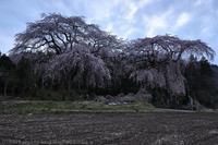 妙義 菅原のしだれ桜 2 - photograph3