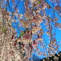 竹田しだれ桜 - 美国結びアトリエギャラリー