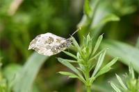 4月19日地元で蝶探し - 蝶と自然の物語