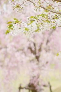 桜おしまい - なないろ模様