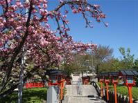 八重桜 - Blue Planet Cafe  青い地球を散歩する