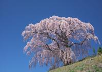 芹ヶ沢桜 - Patrappi annex
