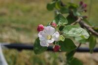 シナノリップが咲き始めた - リンゴ園で想う