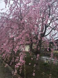 日中線しだれ桜の開花状況! - 福島県立テクノアカデミー会津 観光プロデュース学科 学生ブログ「みてがんしょ!」