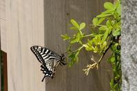 ■ナミアゲハ19.4.22 - 舞岡公園の自然2