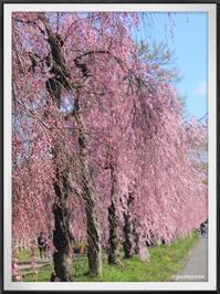 喜多方 日中線のしだれ桜 - キルトとステッチ時々にゃんこ