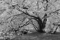 まだ桜 - フォトな日々