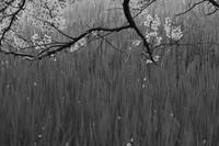 そして桜 - フォトな日々