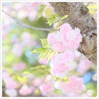 八重桜の花束ふたつ 。°* - かめらと一緒*