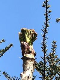 タラの芽 - 自然の中でⅡ