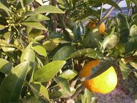 スイスチャードの種まき - 自然農☆☆☆菜園日記