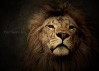 ライオン:Lion - 動物園の住人たち写真展(はなけもの写眞店)