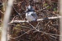 ヤマセミカワガラス - 今日の鳥さんⅡ