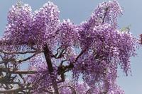 見頃を迎えたマイガーデンの藤の花 - 季節の風を追いかけて
