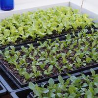 レタス苗順調に育っております - sola og planta ハーバリストの作業小屋