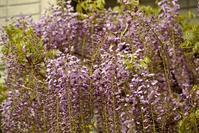 藤の花 - 花・tuzuri