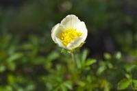 チングルマが咲きました。 - 小さな庭の山野草