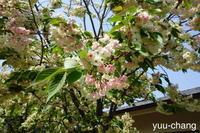吉備路文学館の鬱金桜(ウコンザクラ) - 下手糞でも楽しめりゃいいじゃんPHOTO BLOG