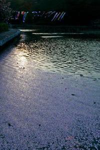 花筏 - 蓮華寺池の隣5
