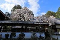 十輪寺の業平桜 - ぴんぼけふぉとぶろぐ2