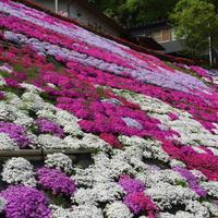 田島のふくろうの花畑の芝桜 - くわみつの和み時間