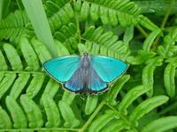 22ハヤシミドリシジミ「蝶図鑑」 - 超蝶