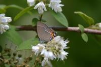 28ベニモンカラスシジミ「蝶図鑑」 - 超蝶