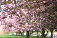 八重の花 / double-flowered - Seeking Light - 光を探して。。。