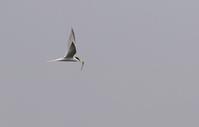 河口の鳥たち1・コアジサシ他/WTO、韓国に敗訴 - 赤いガーベラつれづれの記