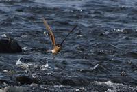 河口のツバメチドリ/二つの事故対応に思う - 赤いガーベラつれづれの記