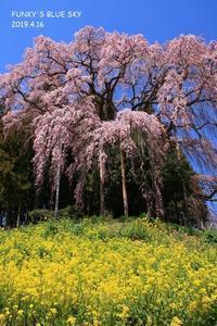 SAKURA*2019その11 (合戦場のしだれ桜・後編) - FUNKY'S BLUE SKY