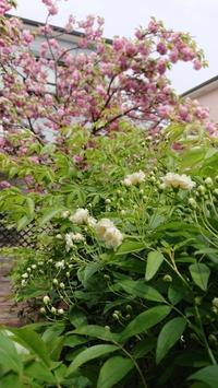 我が家の花たち❤️ - 五十路を過ぎてブログに挑戦