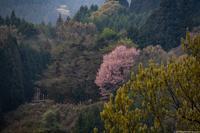 宇陀名残の桜 - toshi の ならはまほろば