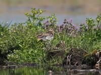 田の畦にいたタシギ - コーヒー党の野鳥と自然 パート2