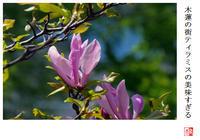 木蓮の街ティラミスの美味すぎる - 風と光の散歩道、有希編2a