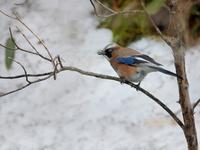 お山のカケスたち - トドの野鳥日記