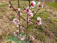 桃の栽培、芽生え - 孤独と私