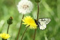 ウスバシロチョウ穏やかな春 - 蝶のいる風景blog
