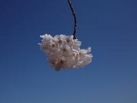 桜 - 日常・街歩記