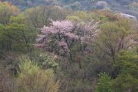 大分県由布院庄内方面に山桜ラスト撮影に、、、2019 4月 - 優柔不断なAB型男の独り言 THE dream room.