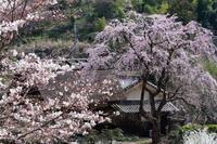 桜色づく西吉野の春 - katsuのヘタッピ風景