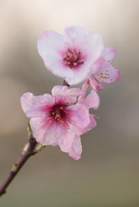 アーモンドの花(松山総合公園) - かたくち鰯の写真日記2