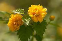 山吹の花(松山総合公園) - かたくち鰯の写真日記2
