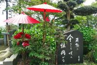 雨除の 傘さして咲く 牡丹かな - 東金、折々の風景