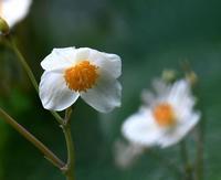 白雪芥子 - 旅のかほり